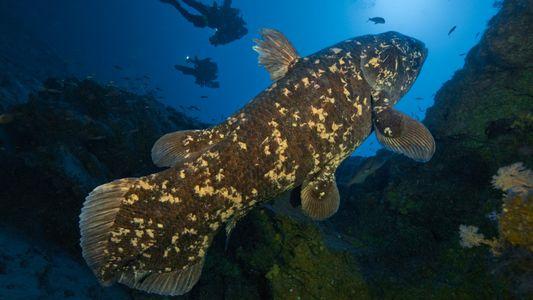 Peixe primitivo de águas profundas vive até os 100 anos