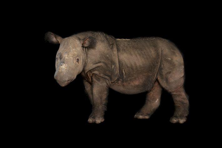 Um rinoceronte-de-sumatra fotografado no Zoológico de Cincinnati, em Ohio.