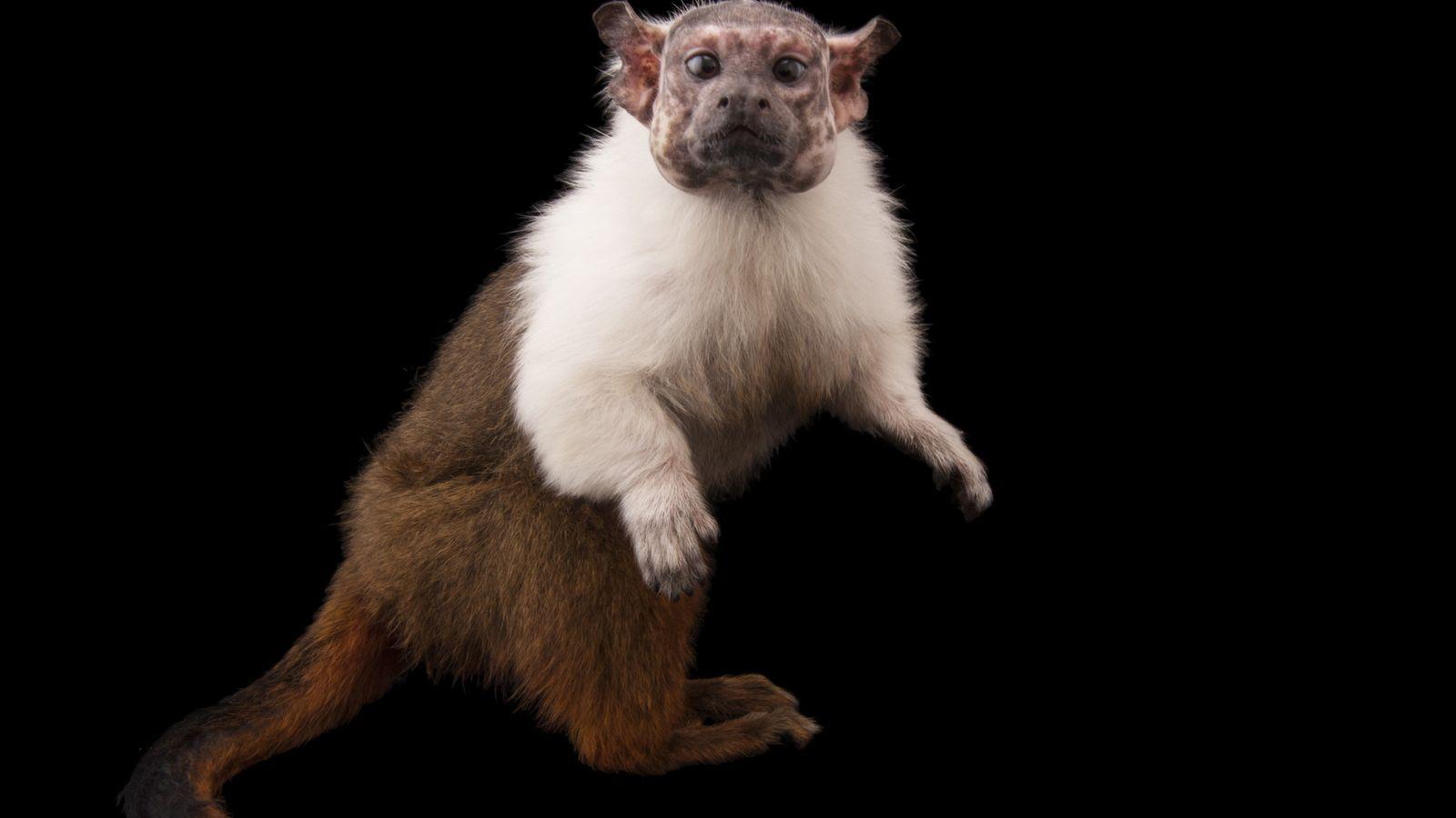 Com até 42 cm de comprimento, o sauim-de-coleira compete por território e disponibilidade de alimento com ...