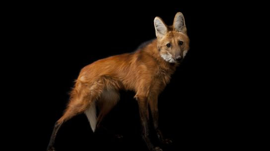 Conhecido como um símbolo do Cerrado brasileiro, o lobo-guará está presente também em áreas de transição ...
