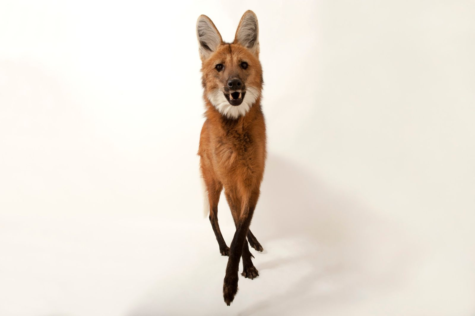 No Brasil, a maior população de lobos-guarás está no Cerrado, com cerca dede 14 mil indivíduos. ...
