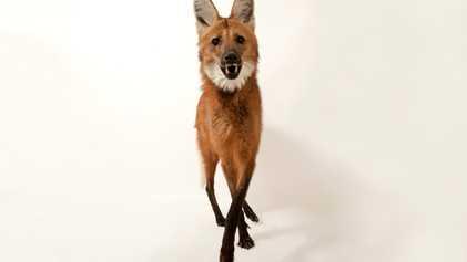 Com população em declínio, lobo-guará ganha visibilidade ao estampar nota de R$ 200