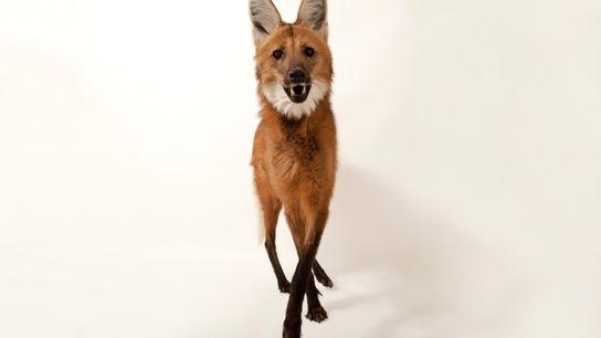 No Brasil, a maior população de lobos-guarás está no Cerrado, com cerca de de 14 mil indivíduos. ...