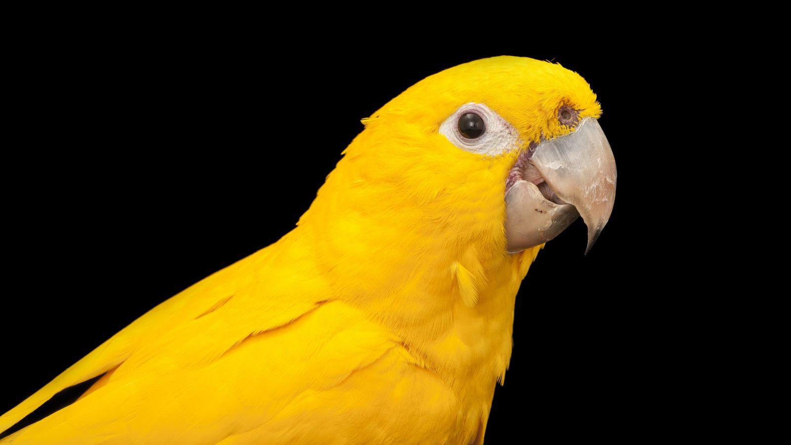 Verde e amarelo: as cores da ave amazônica trazem uma conexão imediata com a bandeira nacional.