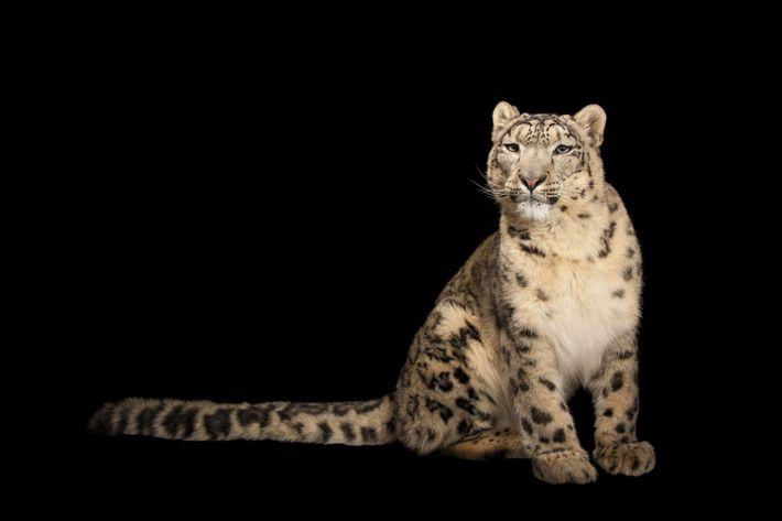 Um leopardo-das-neves fotografado no Zoológico Miller Park em Bloomington, Illinois.