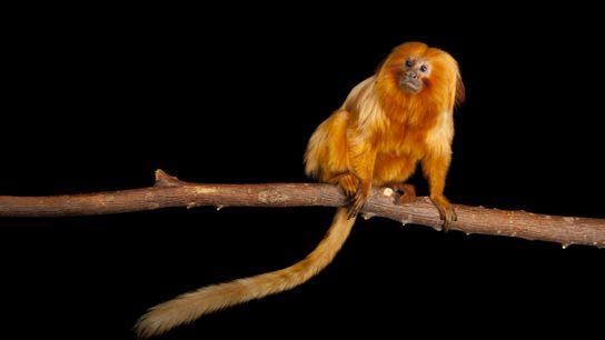 Os micos alimentam-se principalmente de insetos, capturados por suas unhas compridas de dentro das bromélias da ...