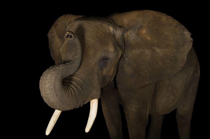 Um elefante-africano fotografado no Zoológico de Indianápolis, em Indiana.