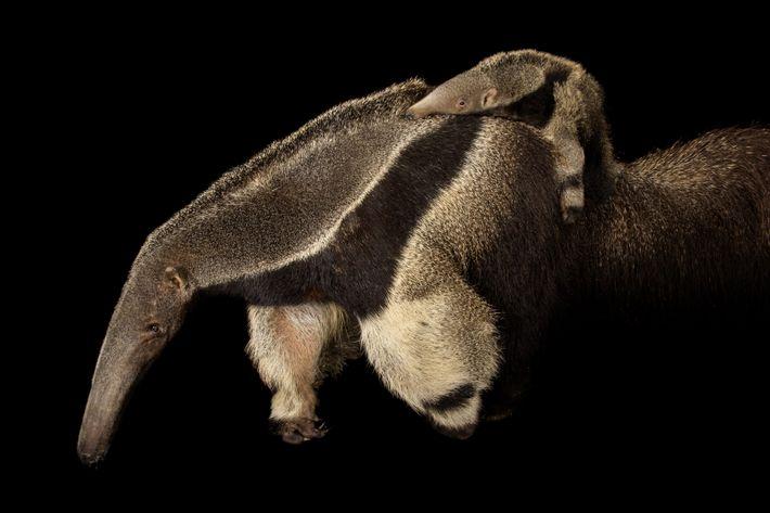 Os tamanduás-bandeira são considerados um dos mamíferos mais ameaçados das Américas principalmente porque seus habitats, como ...