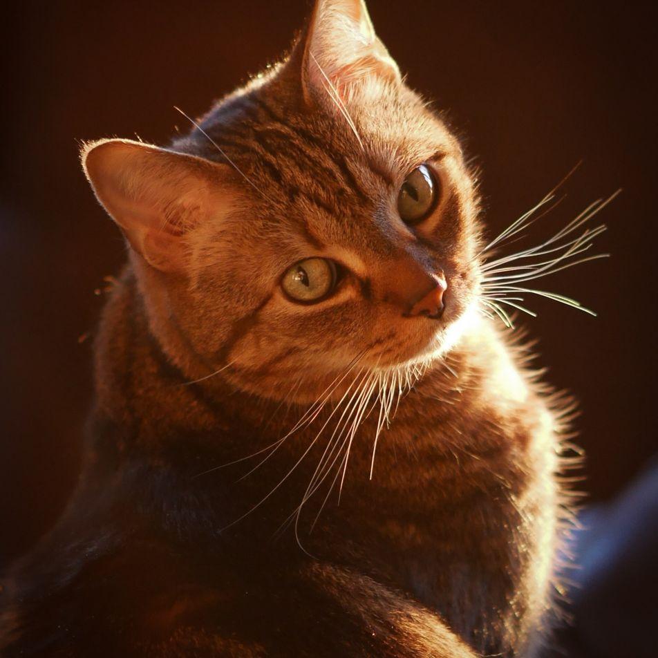 Descoberta a origem das listras de gatos malhados