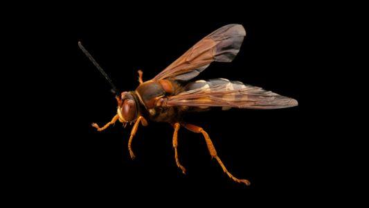 É temporada das vespas assassinas de cigarras nos EUA – conheça a espécie
