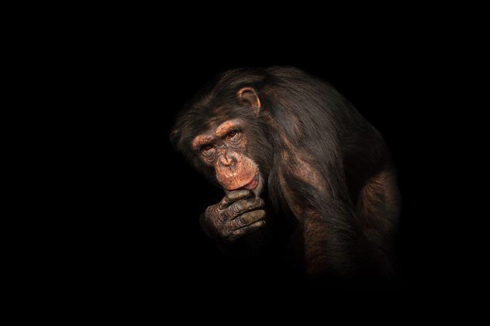 Chimpanzé no zoológico Rolling Hills, estado americano do Kansas.