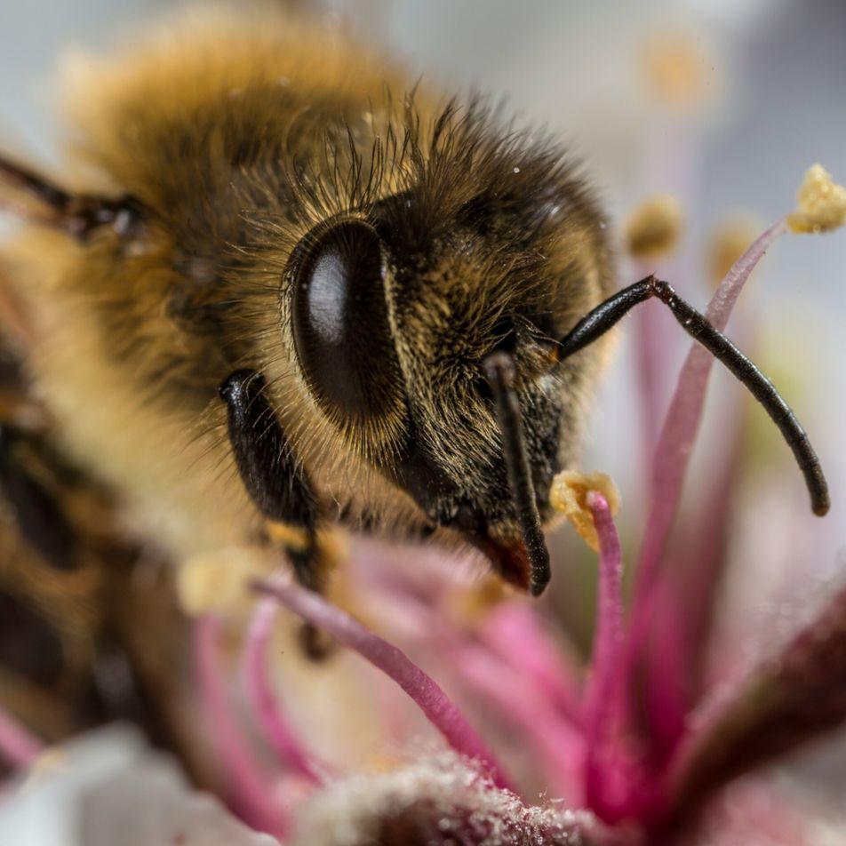 Abelhas estão acumulando microplásticos em seus corpos
