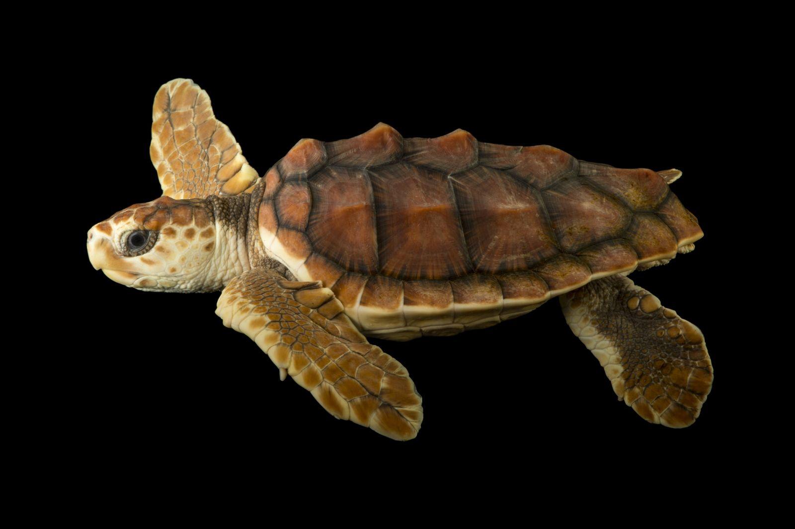Tartaruga-cabeçuda