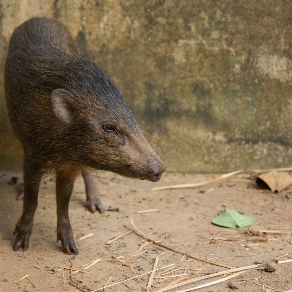 Menor porco do mundo, que já foi considerado extinto, volta a viver na natureza