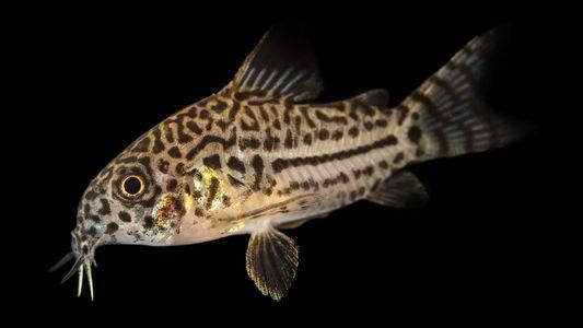 Como esses pequeninos peixes da Amazônia sobrevivem à mordida da piranha?