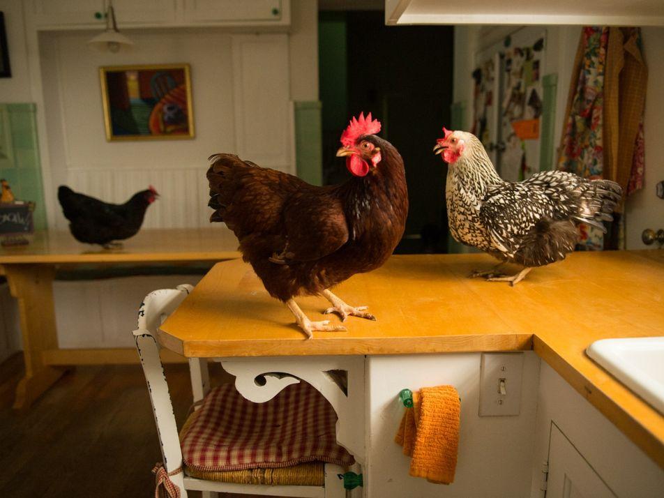 Aluguel de galinhas vira moda durante a pandemia