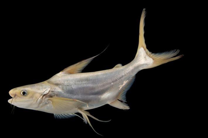 Bagre-gigante-do-mekong criticamente ameaçado de extinção, também conhecido como peixe-panga.