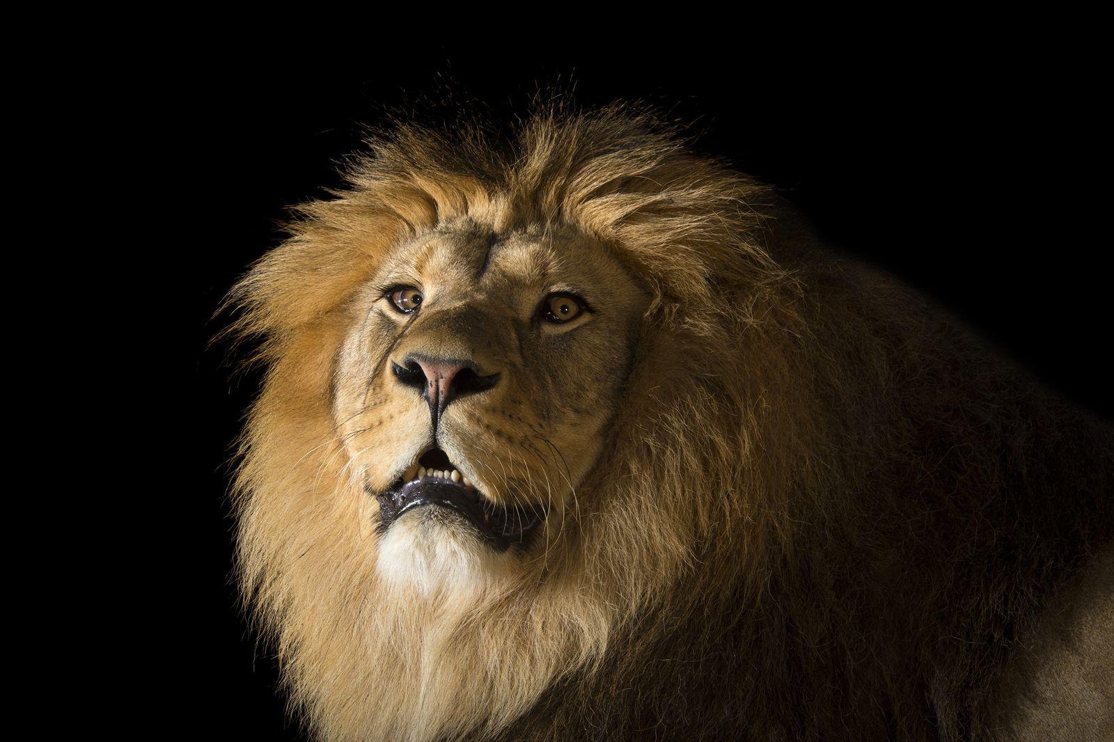 Leão-africano