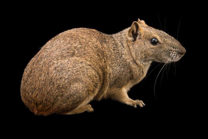 De galho em galho: endêmico do Brasil, o mocó tem como principal fonte de alimentação cascas ...