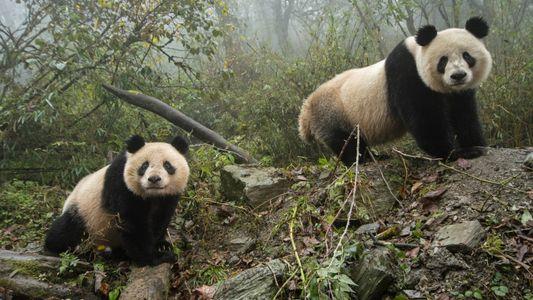 Pandas foram retirados da lista de espécies ameaçadas na China – mas riscos persistem