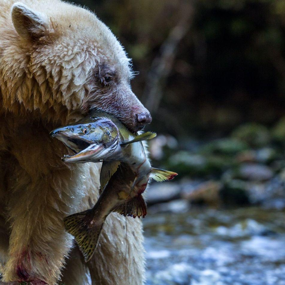 Salmão corre risco de extinção no Canadá. Como os turistas podem ajudar?