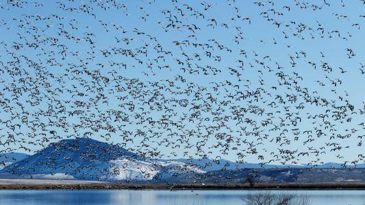 Migração das aves é uma das grandes maravilhas da natureza. Entenda esse fenômeno