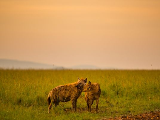 Parasita 'controlador de mentes' deixa filhotes de hiena imprudentes diante de leões