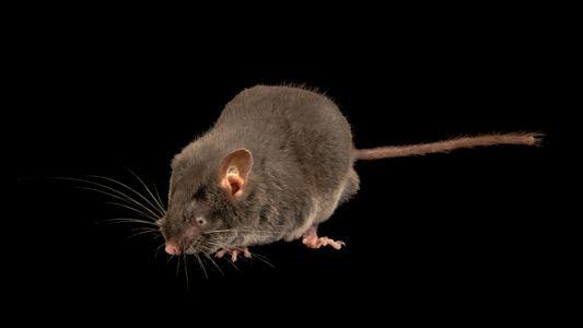 """Esses ratos cegos conseguem """"enxergar"""" com os ouvidos, algo inédito entre roedores"""