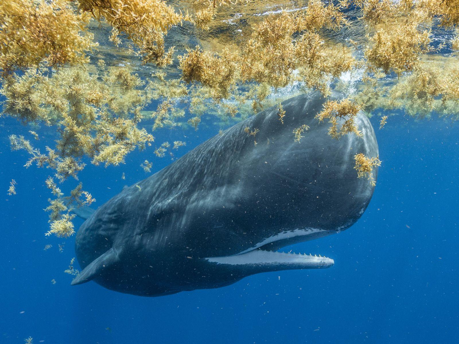 Baleia cachalote nada em meio ao Mar de Sargaços próximo à ilha Dominica, no Mar do ...