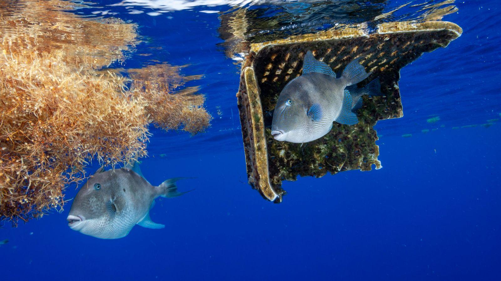 Peixe-porco busca se esconder embaixo de um cesto de plástico no Mar de Sargaços, no Atlântico ...