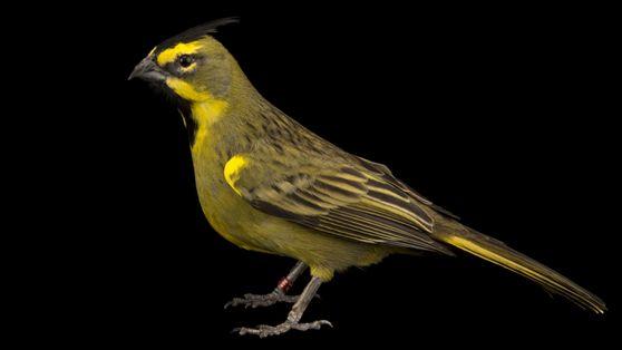 Cardeal-amarelo