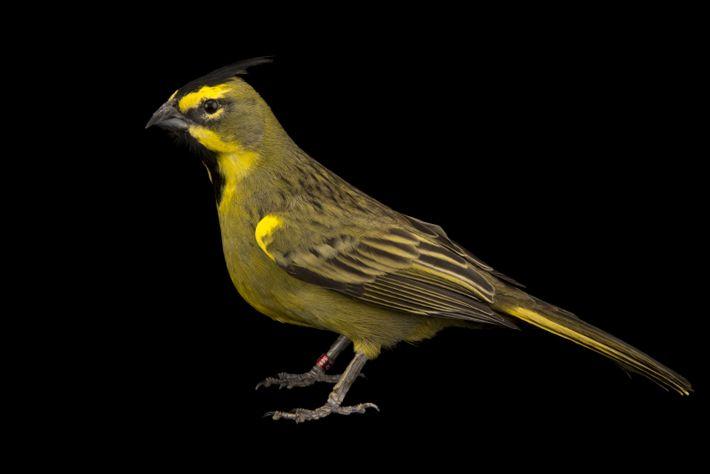 Estimativas dão conta de que, hoje, há menos de 50 cardeais-amarelo no Brasil.