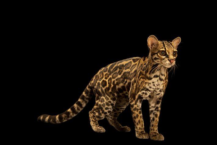 O felino de olhos e patas grandes e cauda longuíssima é encontrado em quase todo o ...