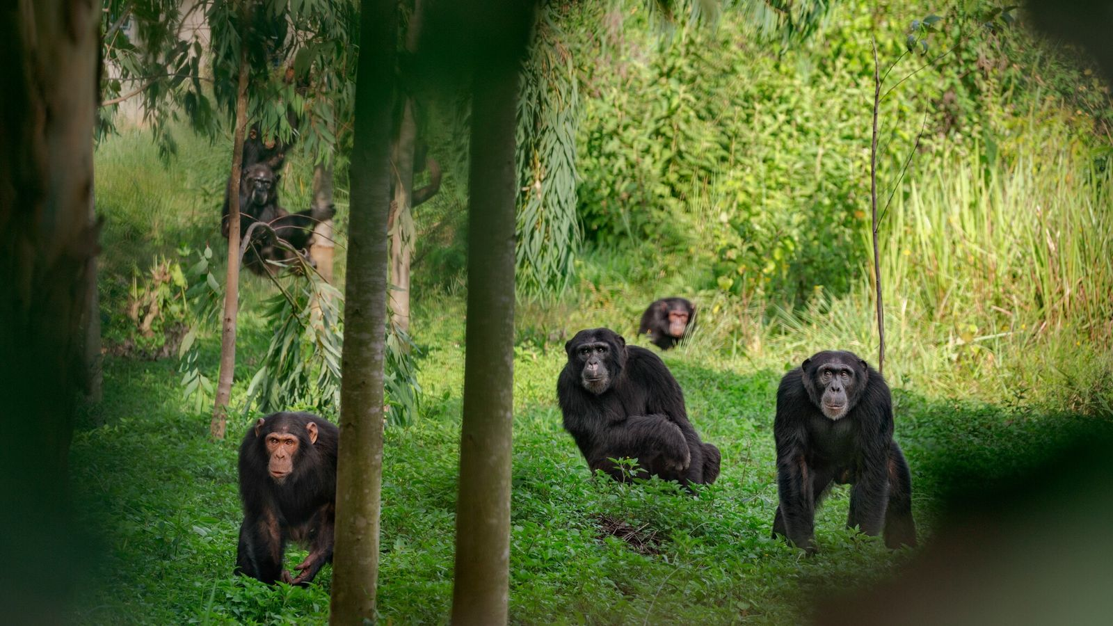 Um grupo de chimpanzés é avistado em Uganda. Alguns machos-alfa governam com punho de ferro, enquanto ...
