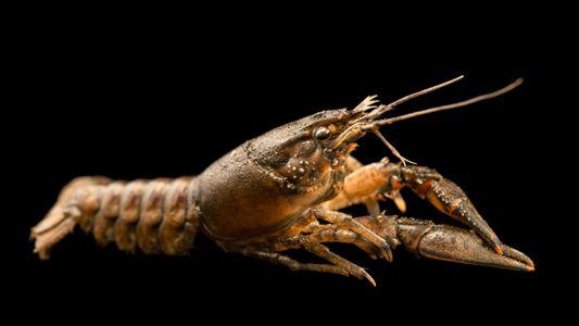 Resíduos de antidepressivos na água podem tornar lagostins mais ousados e aumentar predação