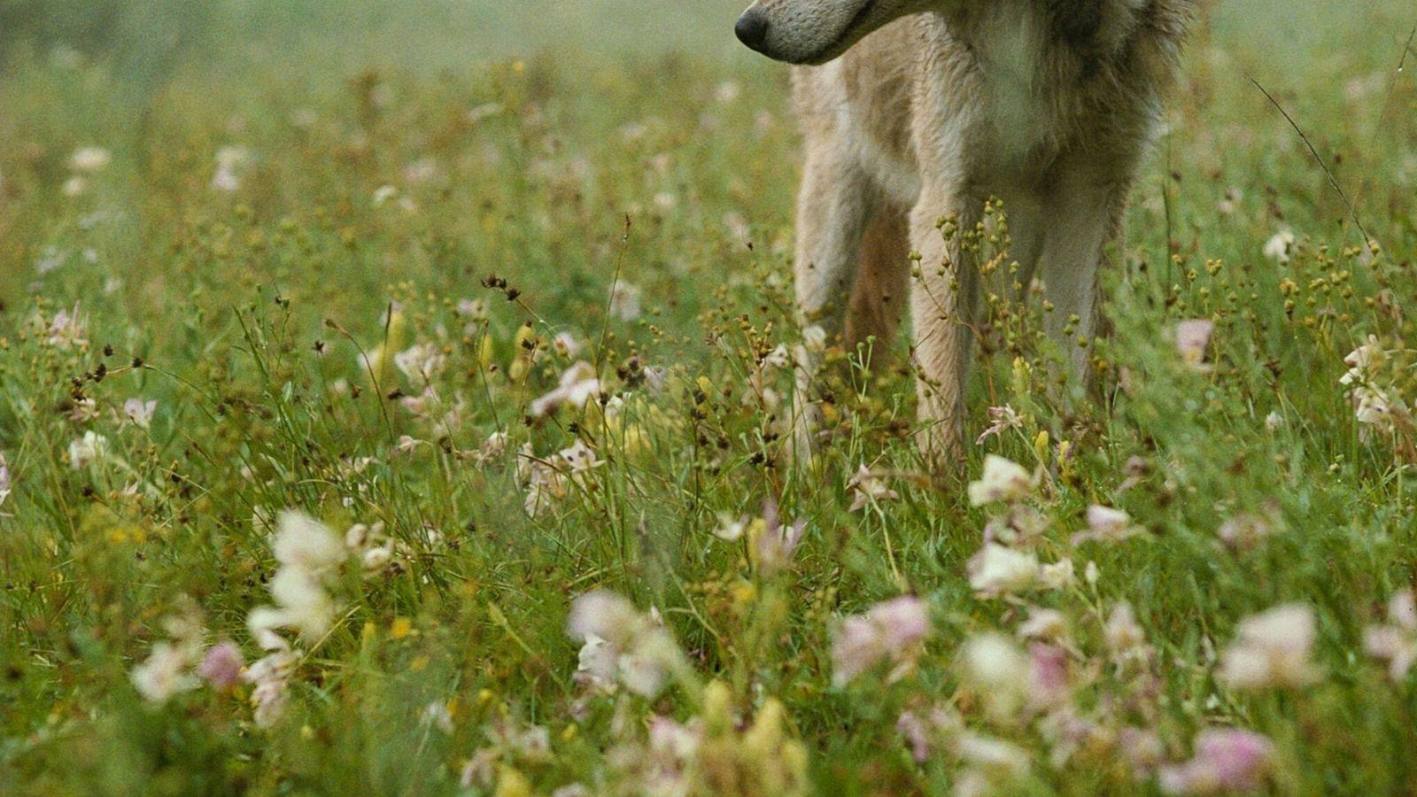 idaho-wolves