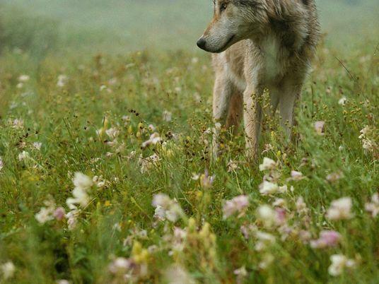 Projeto de lei em estado americano prevê exterminar até 90% dos lobos