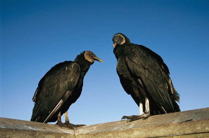 Dois urubus-de-cabeça-preta na costa do Golfo da Flórida. Essa espécie gosta de se reunir em grandes ...