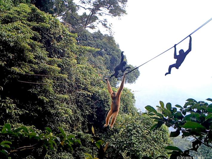 Gibões-de-hainan cruzam a ponte de corda na Ilha de Hainan.