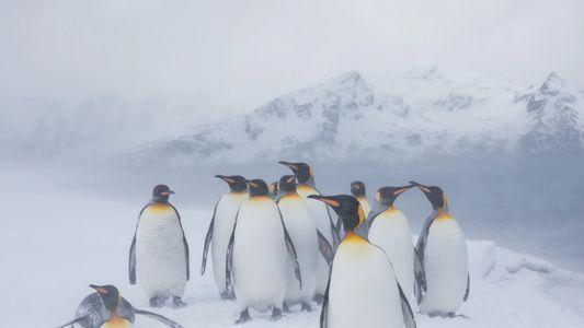 Pinguim de raríssima coloração amarela é avistado na Antártica — veja imagem
