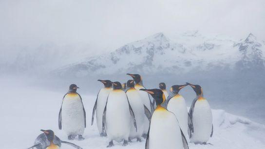 Grupo de pinguins-rei se amontoa em uma nevasca na ilha da Geórgia do Sul.
