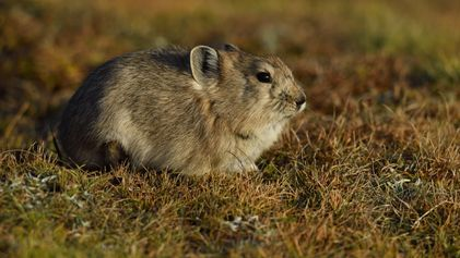 Pequenos animais com 'cara de coelho' têm estratégia incomum para sobreviver ao inverno