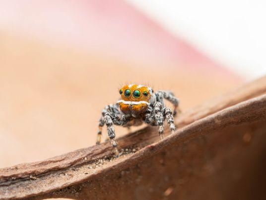 Como cientistas encontraram Nemo, a mais nova aranha dançarina da Austrália