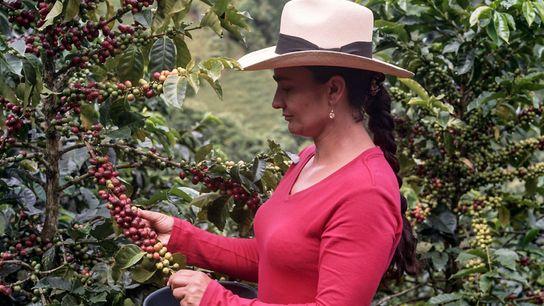 Alba Maria, matriarca de uma família que produz café há gerações em Caldas, Colômbia, seleciona cuidadosamente ...