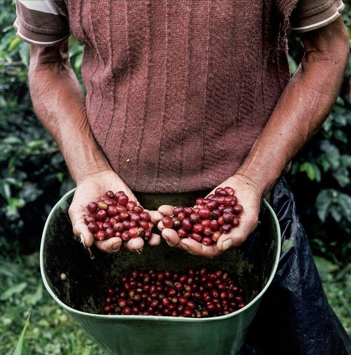 Pequenos produtores de café pontuam as encostas dos Andes na província de Caldas, Colômbia, a oeste ...