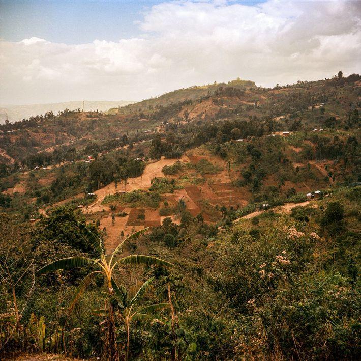 Em termos genéticos, a Etiópia é amplamente considerada como a terral natal do café Arabica. Ali, ...