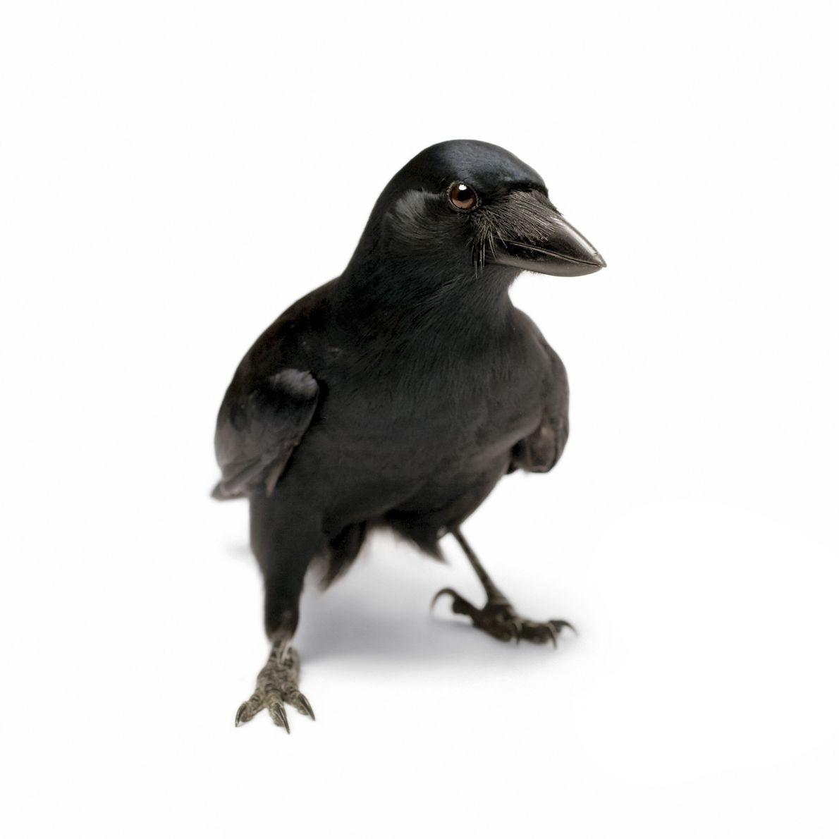 Talentosos construtores de ferramentas (eles transformam gravetos em ganchos para cavar, por exemplo) corvos da Nova ...
