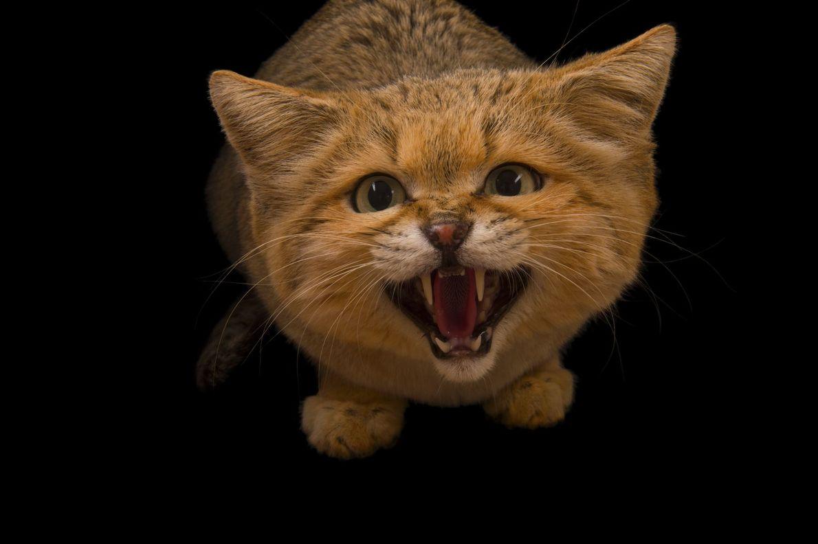 Gato-do-deserto mia para câmera