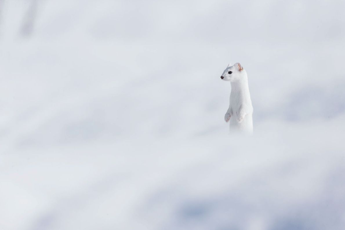 Doninha na neve