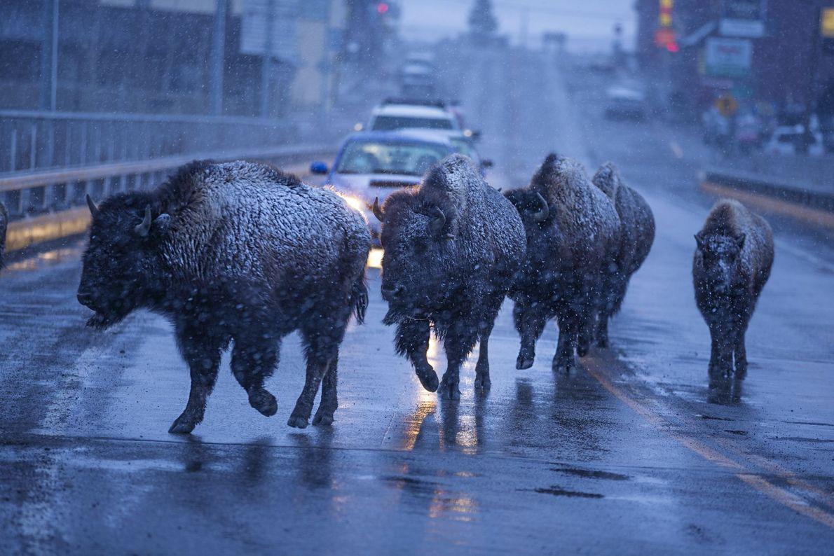 Eu freio pelos bisontes